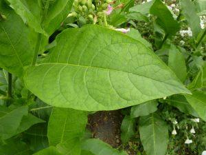 tobacco free nicotine 101:tobacco leaf